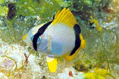 Reef Butterflyfish H Butterfly Fish