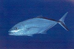 Fish id quiz 22 for Blue runner fish